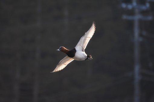 Animal, Bird, Waterfowl, Wild Birds, Duck