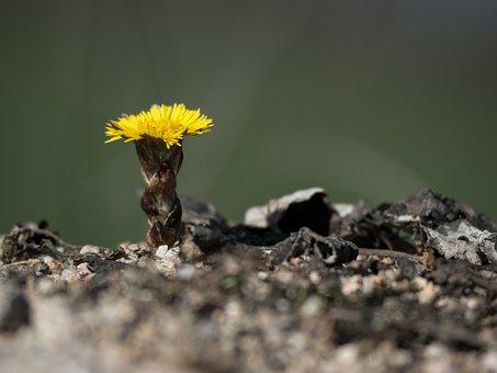 Nature, Tussilago Farfara, Yellow, Medicinal Plant