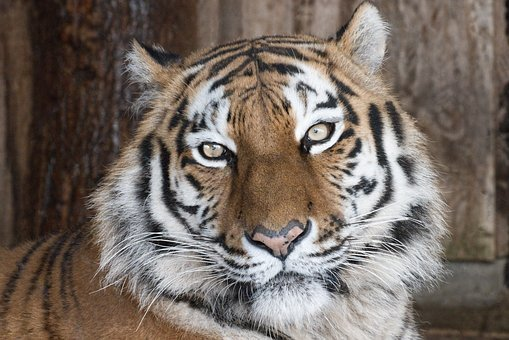 Tiger, Predator, Zoo, Africa, Safari, Animal World
