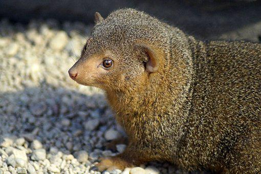 Mongoose, Zwergmanguste, Zoo, Animal, Mammal, Creature