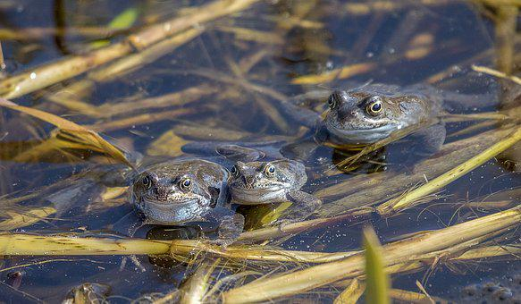 Frogs, Amphibian, Animal, Pond, Amphibians, Green