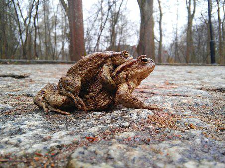 Ampleksus, Amphibians, A Toad, The Frog, Nature