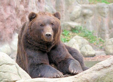 Bear, Brown, Kamchatka, Lying, Animal, Beast, Zoo
