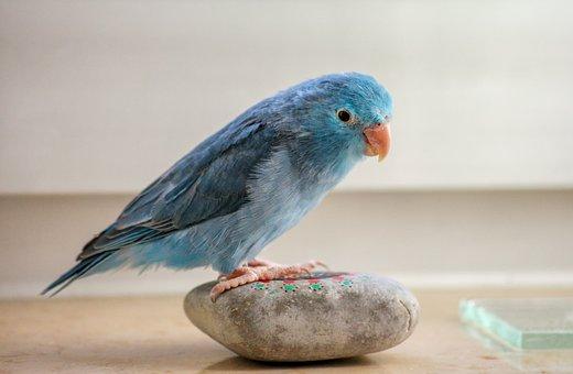 Animals, Parrotlet, Blue, Bill, Plumage, Feather, Bird