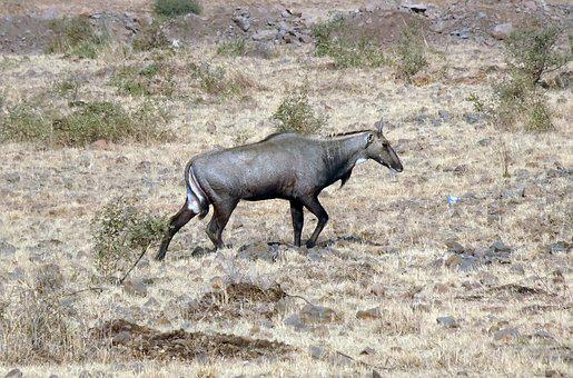 Nilgai, Antelope, Animal, Wild, Blue Bull