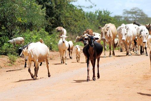 Goat, Cattle, Animal, Farm, Livestock, Domestic