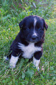 Black And White, Puppy, Do, Dog, Cute, Pet, Animal