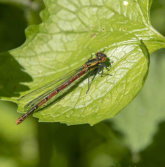Damselfly, Red, Wings, Leaf, Insect, Nature, Summer