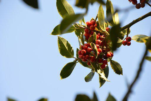 Holly, Tree, Festival, Decoration, Christmas, Leaves