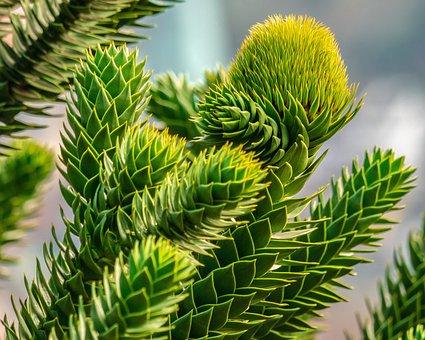 Araucana, Chile Pine, Fir Tree, Tree