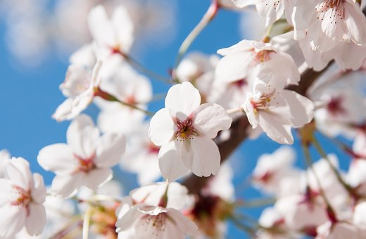 Spring, Branch, Flowers, Tree, Pink, Bud, Nature