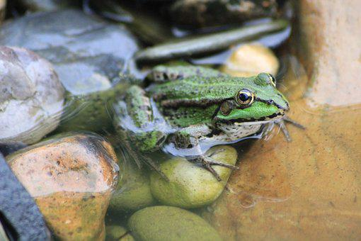 Frog, Tree Frog, Garden Pond, Sunbathing, Green