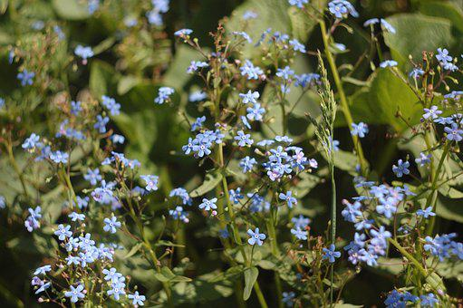 Forget-me-nots, Flowers, Green, Flora, Summer