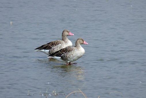 Bird, Goose, Greylag Goose, Migratory, Ornithology