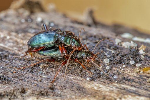 Beetles, Green, Mating, Nature, Insect, Colorful