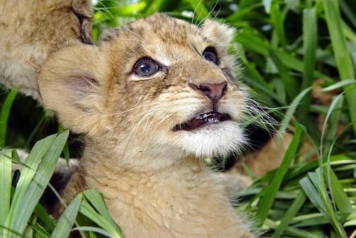 White Lion, Portrait, Lion, Cat, Animal, Wild Animals
