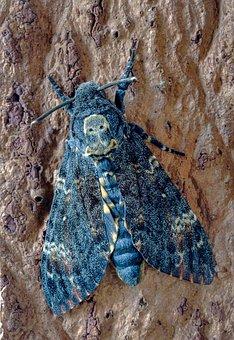 Deaths Head Hawk-moth, Wings, Skull, Moth, Pattern