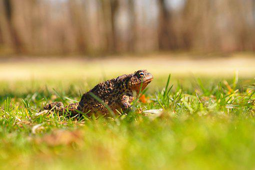 Amphibians, A Toad, The Frog, Nature, The Creation Of