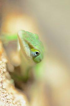 Lizard, Green Anole, South Carolina, Reptile, Green