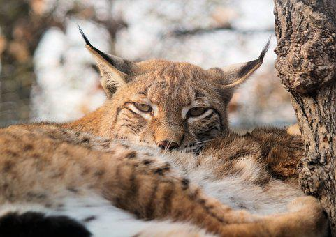 Feature, The Eurasian Lynx, Lying, Animal, Beast, Rest