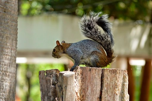 Squirrel, Rodent, Forest, Mexico, Nature, Animals
