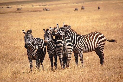 Zebra, Wild, Bush, Safari, Tanzania