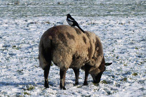Magpie, Sheep, Whey, Pasture, Polder, Winter, Snow
