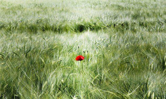 Spike, Field, Cereals, Poppy, Klatschmohn, Flower