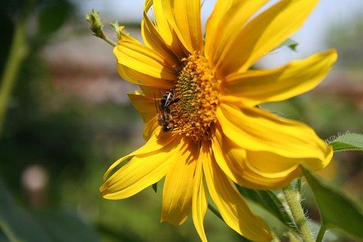 Sunflower, Flower, Yellow, Nature, Summer, Pollen