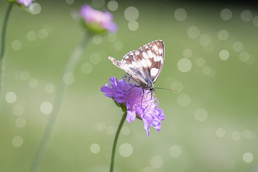 Butterfly, Women's Board, Chess Board, Summer, Nature