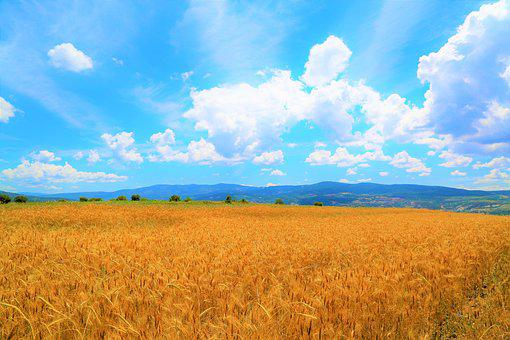 Wheat, Field, Agriculture, Grain, Summer, Harvest