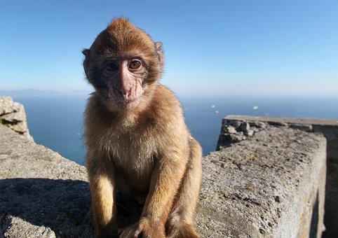 Monkey, Baby, Gibraltar, Animal, Landscape, Travel