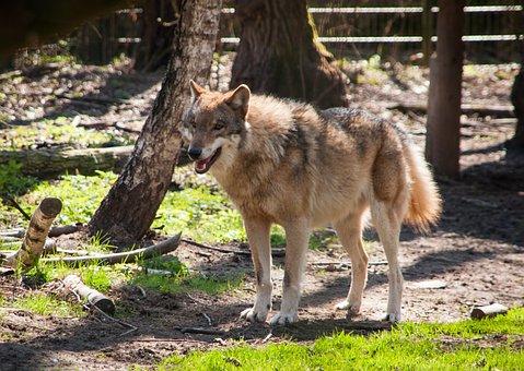 Wolf, Canis Lupus, Predator, Carnivores, Mammal, Animal
