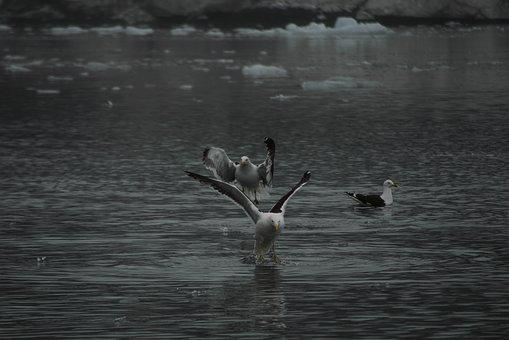 Birds, Flying, Antarctica, Black And White, Feathers