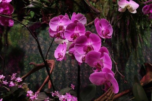 Orchid, Pink, Flower, Flora, Bloom, Purple, Nature