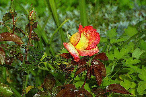 Rose, Flower, Garden, Plant, Petals, Yellow, Red, Bud
