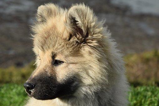 Dog, Pup, Puppy, Dog Eurasier Olaf Blue, Eurasier
