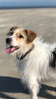 Dog, Island, Baltrum, Terrier, Jackrussel