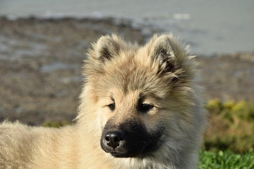 Dog, Pup, Puppy, Dog Eurasier Olaf Blue