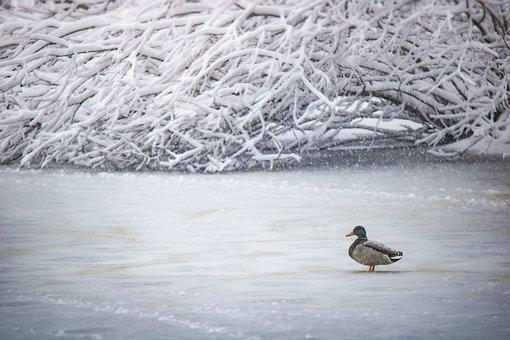 Winter, Cold, Lake, Duck, Gefrohren, Frost, Snow