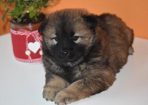 Dog, Pup, Puppy, Eurasier Puppy, Eurasier Female