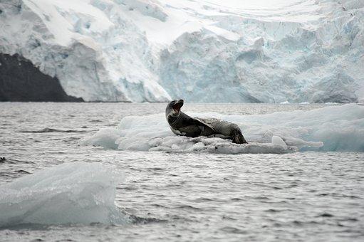 Leopard, Leopard Seal, Ice, Glacier, Antarctica