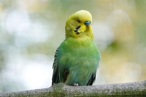 Budgie, Tired, Half Asleep, Bird, Parakeet, Green