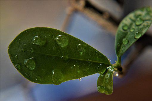 Leaf, Rain Drops, Dew, Nature, Water, Leaves, Green