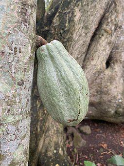 Cocoa Pod Chocolate, Jungle Rain-forest Green