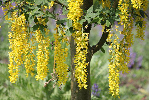 Laburnum, Summer, Park, Garden, Depend, Plant