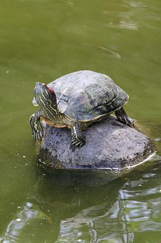 Turtle, Pond, Water, Nature, Reptile, Creature