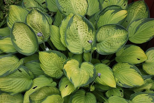 Plantain Lily, Hosta, Leaf, Plant, Nature, Leaves