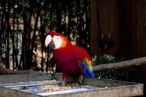 Parrot, Bird, Red, Animals, Beak, Parakeet, Wings