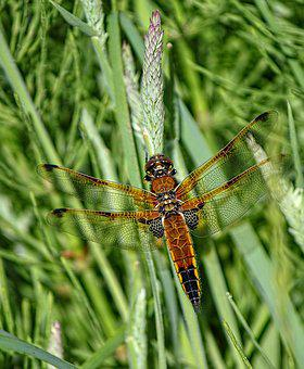 Dragonfly, Four Spotted Chaser, Wings, Pattern, Insect